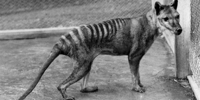 080519 tasmanian tiger 02 thumb2