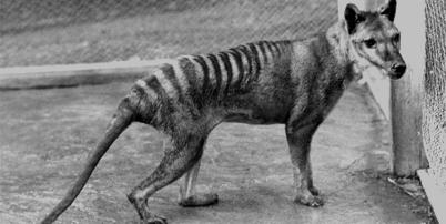 080519 tasmanian tiger 02 thumb bw2